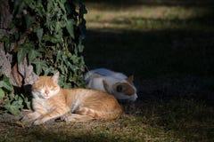 Os gatos estão adormecidos Fotografia de Stock