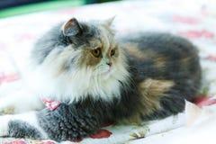 Os gatos persas bonitos de Brown dormem na tabela Imagens de Stock Royalty Free
