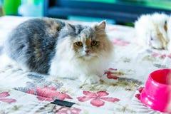 Os gatos persas bonitos de Brown dormem na tabela Foto de Stock Royalty Free
