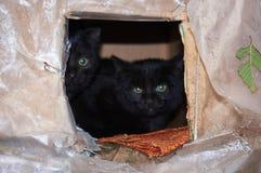 Os gatos pretos da rua estão escondendo em um caseiro borrado Fotos de Stock Royalty Free