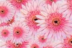 Os gerberas cor-de-rosa fecham-se acima Fotos de Stock Royalty Free
