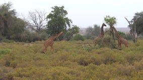 Os girafas comem as folhas das árvores em Samburu video estoque