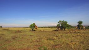 Os girafas que comem a árvore saem no savana em África filme