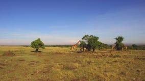 Os girafas que comem a árvore saem no savana em África vídeos de arquivo