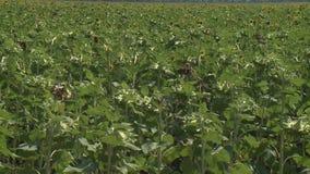 Os girassóis colocam a agricultura verde vídeos de arquivo