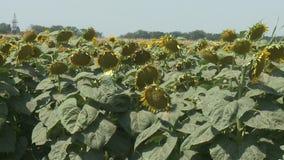 Os girassóis colocam a agricultura verde video estoque
