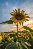 Os girassóis colocam no campo de Tailândia durante o por do sol Imagens de Stock Royalty Free