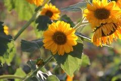 Os girassóis iluminados pelo sol Imagem de Stock