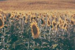 Os girassóis texture e fundo para desenhistas Fundo do campo dos girassóis no estilo do vintage Vista macro do girassol na flor Fotos de Stock Royalty Free