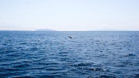 Os golfinhos aproximam ilhas de canais, Califórnia Foto de Stock Royalty Free
