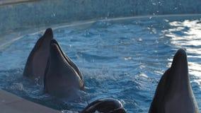 Os golfinhos dançam mover-se um após o outro e espirrar a dança alegre do bom humor da água filme