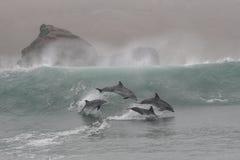 Os golfinhos de Bottlenose que saltam nas ondas de Chilca encalham, ao sul de Lima, o Peru Fotos de Stock