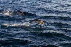 Os golfinhos que saltam sobre as ondas imagens de stock