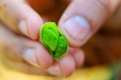 Os grãos-de-bico verdes frescos colocam, as ervilhas de pintainho igualmente conhecidas como o harbara ou o harbhara no hindi e n imagens de stock