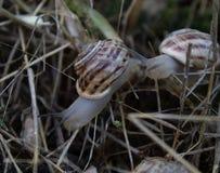 Os grandes caracóis rastejam na grama seca após a chuva do verão imagem de stock royalty free