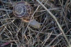 Os grandes caracóis rastejam na grama seca após a chuva do verão fotos de stock royalty free