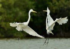 Os grandes egrets da luta fotografia de stock royalty free