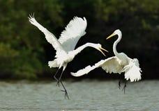 Os grandes egrets da luta imagem de stock