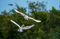 Os grandes egrets da luta imagem de stock royalty free