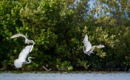 Os grandes egrets da luta fotos de stock