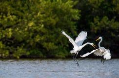 Os grandes egrets da luta imagens de stock royalty free