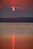 Os grandes Egrets juntam-se a pelicanos e a garça-real de grande azul para o café da manhã no amanhecer no nascer do sol na reser Fotos de Stock