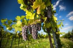 Os grandes grupos de uvas do vinho tinto penduram de uma videira velha imagem de stock royalty free