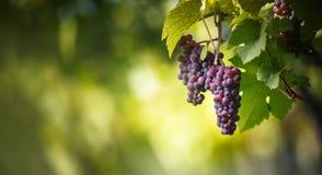 Os grandes grupos de uvas do vinho tinto penduram de uma videira velha fotografia de stock