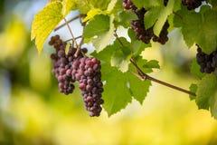 Os grandes grupos de uvas do vinho tinto penduram de uma videira velha fotos de stock