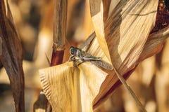Os grandes, locustídeo cinzento-verdes do espécime sentam-se em uma parte seca de milho no campo Foto de Stock