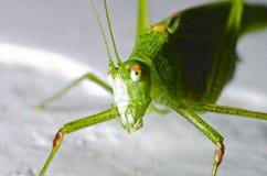 Os grandes locustídeo verdes, o close-up principal olham a câmera em um fundo cinzento imagem de stock