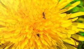 Os grandes planos do dente-de-leão, as pétalas têm-no formigas de rastejamento foto de stock royalty free