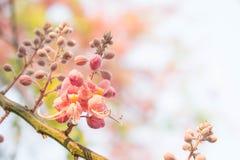Os grandis da cássia florescem, flores da flor da margarida no verão Fotografia de Stock