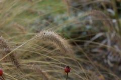 Os gras das pampas, inverno, gaerden Imagens de Stock