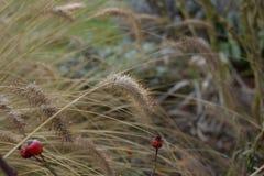 Os gras das pampas, inverno, gaerden Fotos de Stock