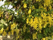 Os grupos amarelos de flores da acácia estão pendurando na árvore fotos de stock