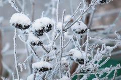 Os grupos de Rowan preto pulverizaram flocos da neve Fundo do inverno fotografia de stock