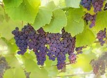 Os grupos de uvas em um fundo das folhas Fotos de Stock Royalty Free