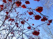 os grupos maduros suculentos de bagas de Rowan penduram nos ramos, polvilhados fotografia de stock