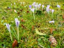 Os grupos pequenos do açafrão violeta florescem em um prado durante a mola Foto de Stock