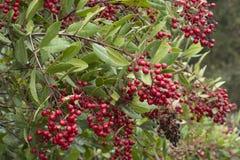 Os grupos vermelhos maduros do fruto no toyon selvagem ramificam Fotos de Stock Royalty Free