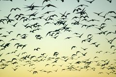 Os guindastes de Sandhill voam sobre a reserva natural de Bosque del Apache Nacional no nascer do sol, perto de San Antonio e de  Imagem de Stock