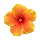 Os hibiscus alaranjados da cor florescem a vista superior isolados no fundo branco, trajeto Imagens de Stock