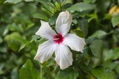 Os hibiscus brancos florescem em um fundo verde, close-up imagens de stock royalty free