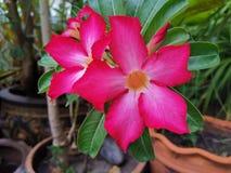 Os hibiscus cor-de-rosa florescem o fundo bonito da flora do verde da árvore do jardim foto de stock royalty free