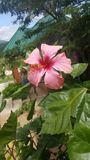 Os hibiscus cor-de-rosa florescem a região Tanzânia de Iringa imagens de stock