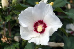 Os hibiscus florescem com pétalas brancas e meio escuro Fotos de Stock Royalty Free