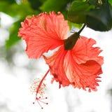 Os hibiscus florescem no jardim Fotos de Stock Royalty Free