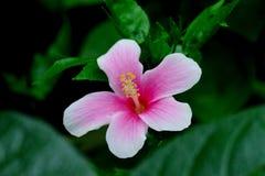 Os hibiscus florescem no jardim Imagens de Stock