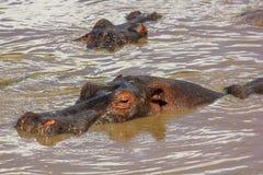Os hipopótamos grandes submergiram no rio no Serengeti Fotos de Stock